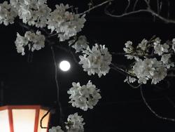 sakura_tsuki.jpg